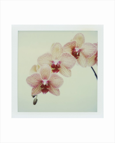 Balkan Kaleidoscope Orchid by Corbis