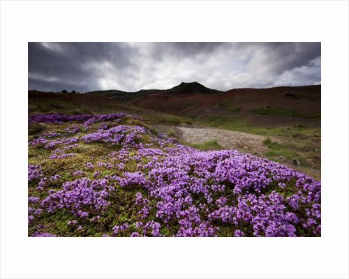 Summer Wildflowers in Iceland by Corbis