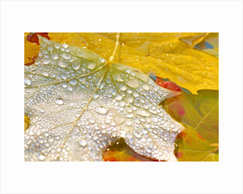 Fall leaves covered in water droplets by Corbis