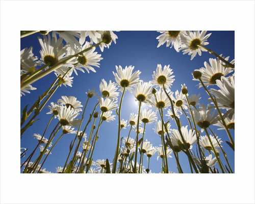 Sun and blue sky through daisies by Corbis