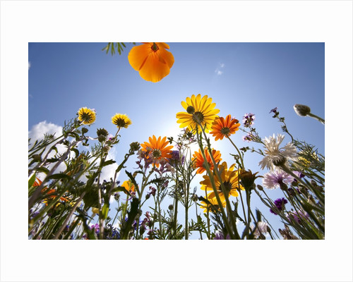 Sun and clear sky above wildflowers by Corbis