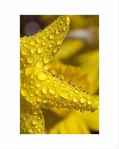 Close-up of dew on daffodil petals by Corbis