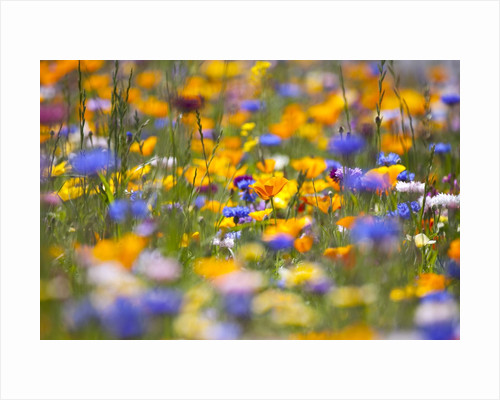 Meadow of wildflowers by Corbis