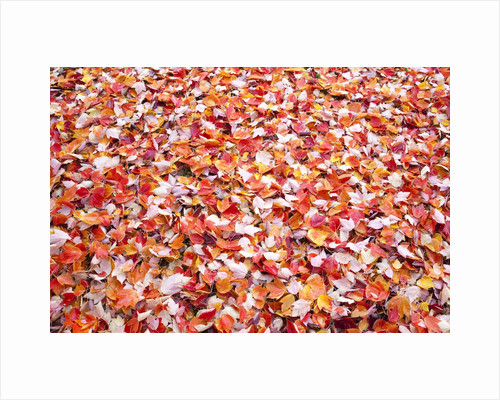 Pile of autumn leaves by Corbis