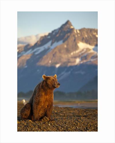 Brown Bear at Dawn, Katmai National Park, Alaska by Corbis