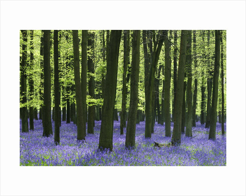 Bluebells at Dockey Wood on the Ashridge Estate by Corbis