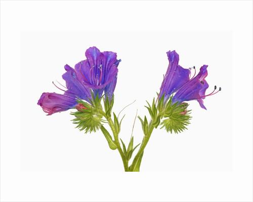 Purple vipers bugloss (echium plantagineum) by Corbis