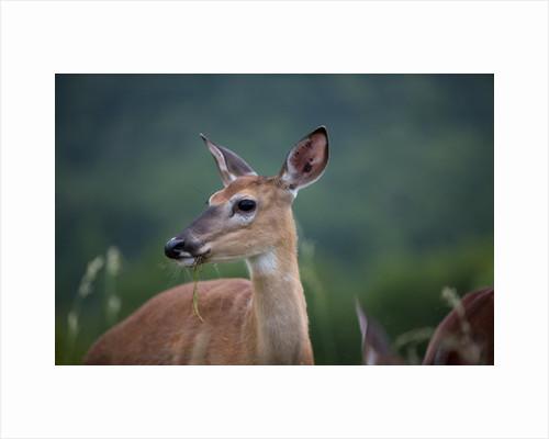White-Tailed Deer, Skyline Drive, Shenandoah National Park, Virginia by Corbis