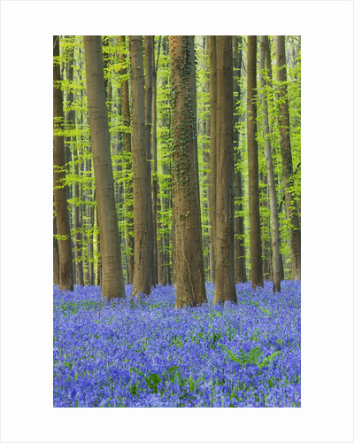Bluebells in Hallerbos beech forest in Belgium by Corbis