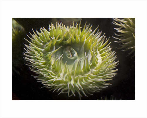 Close up of green sea anemone at New England Aquarium by Corbis