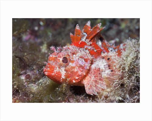 Lesser Red Scorpionfish (Scorpaena notata), Tamariu, Costa Brava, Mediterranean Sea, Spain by Corbis
