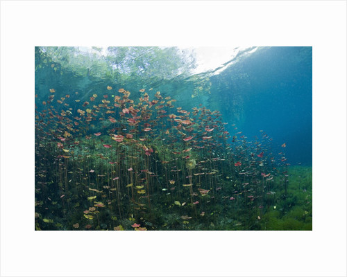 Water Lilies in Car Wash Cenote, Aktun Ha, Tulum, Yucatan Peninsula, Mexico by Corbis