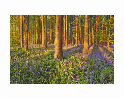 Beech forest (fagus sylvatica) with bluebells by Corbis