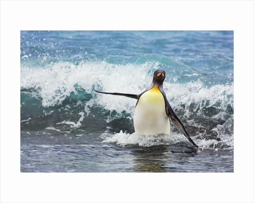 Emperor penguin (aptenodytes forsteri) by Corbis