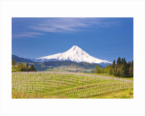 apple blossoms and Mt.Hood, Hood River, Oregon, Columbia River Gorge by Corbis