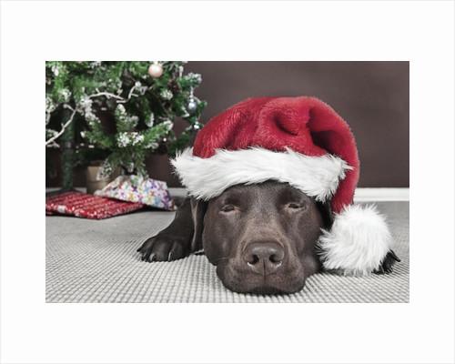 Labrador in santa hat sleeping by xmas tree by Corbis