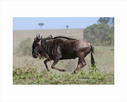 Wildebeest (Connochaetes taurinus) by Corbis