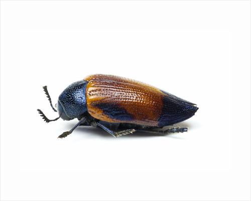 Jewel beetle Sternocera hunteri close-up side view by Corbis
