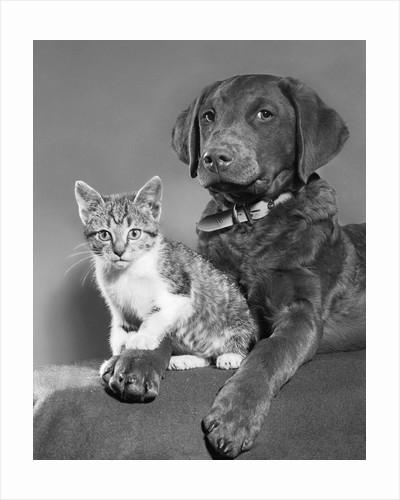 1950s portrait of lab mix dog lying down with kitten sitting on paw by Corbis