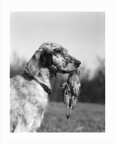1920s english setter holding retrieved bird in mouth by Corbis