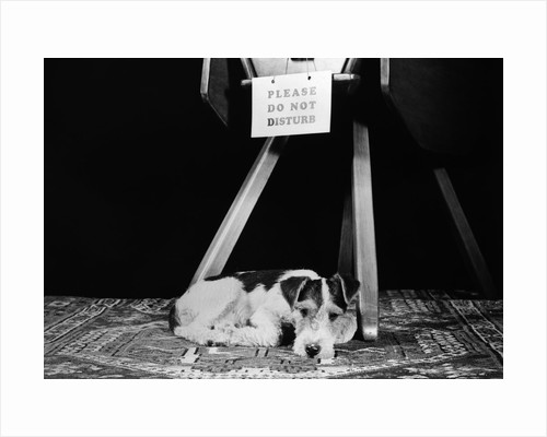 1930s 1940s wire fox terrier dog lying curled up on oriental carpet under table looking at camera by Corbis