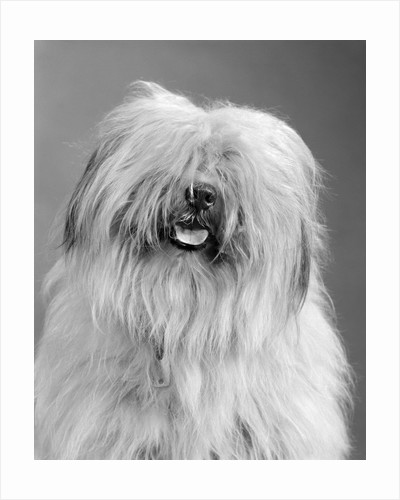 1960s portrait of old english sheepdog with hair covering eyes & tongue barely hanging out looking at camera by Corbis