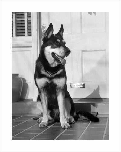 1950s german shepherd dog sitting outside front door of home guard security protection by Corbis