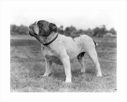 1930s stubborn strong bull dog standing full figure in profile outdoors in grass by Corbis
