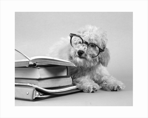 1950s white poodle wearing black eye glasses sitting beside a pile of school books by Corbis
