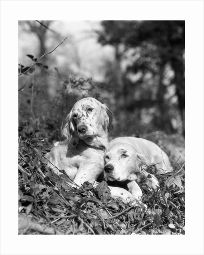 1920s two sweet english setters laying in grass by Corbis