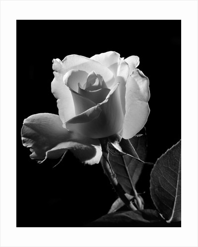 1940s close-up of light-colored rose by Corbis