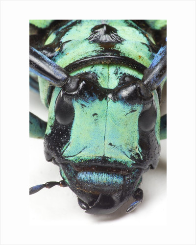 Close-up head on view of Long Horned Beetle by Corbis