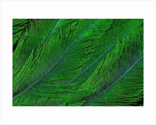 Resplendent Quetzal green tail feathers in layered feather design from Costa Rica by Corbis