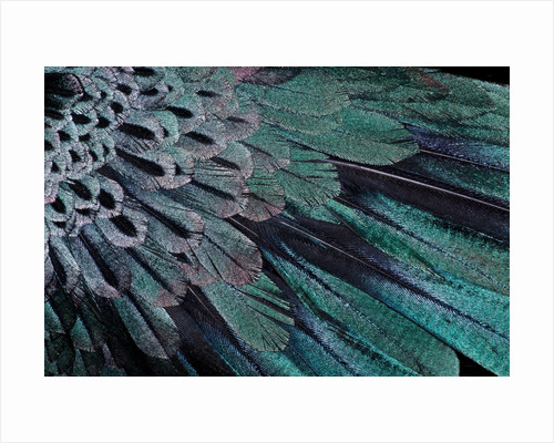 Superb Bird of Paradise feather design as they radiate outwards by Corbis