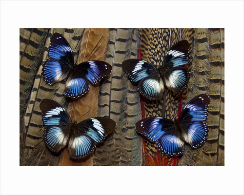 Hypolimas monteironis, the Black-tipped Diadem Butterflies on Pheasant Tail feathers by Corbis