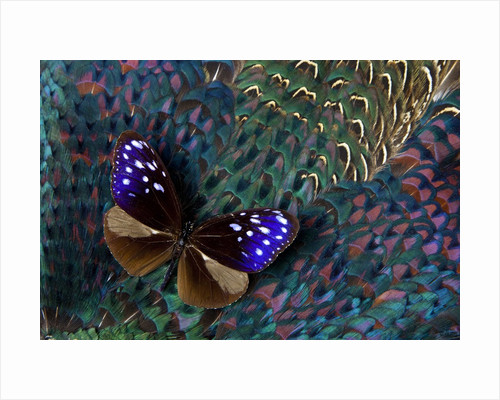 Striped Blue Crow Butterfly, Euploea Mulciber, on Ring-necked Pheasant Feathers by Corbis
