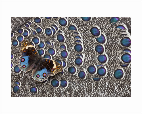 Blue Pansy butterfly, Junonia orithya, on wing feathers of Grey Peacock Pheasant by Corbis