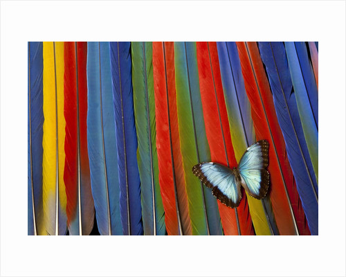 Blue Morpho butterfly Morpho peleides, on variety of Macaw tail feathers by Corbis