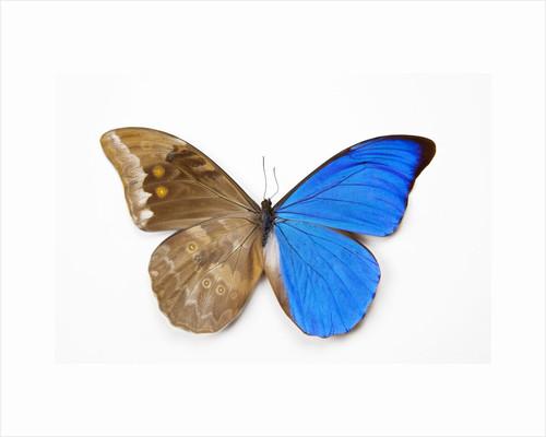 Blue Morpho, Morpho anaxibia from Brazil, comparison half topside other half bottom side by Corbis