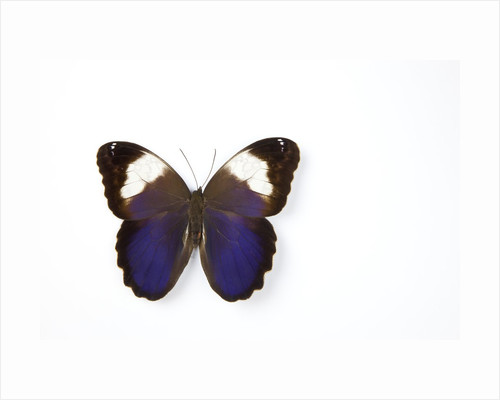 Owl Butterfly, Caligo martia from Argentina study against white background, photography Sammamish, W by Corbis