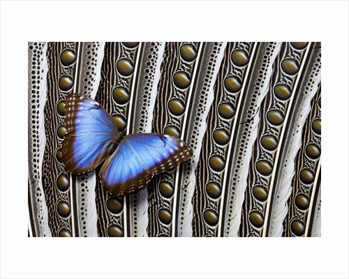Blue Morpho on Wing Feathers of Argus Pheasant by Corbis