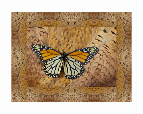 Monarch Butterfly resting on back feathers of Tan variation Ring-necked Pheasant by Corbis