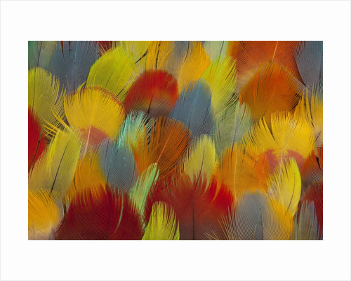 Multi-colored feathers from a variety of parrots by Corbis