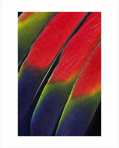 Main central wing feathers of Amazon Parrot by Corbis