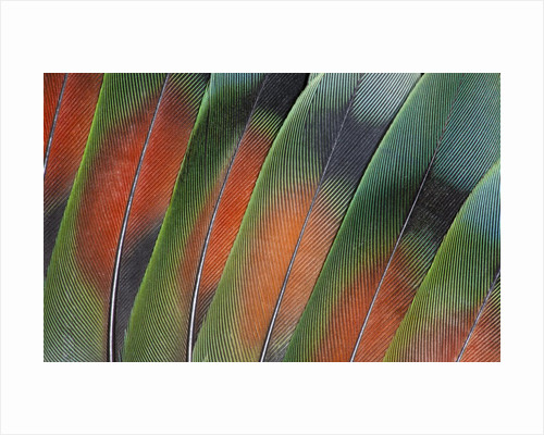 Tail feathers fanned out Lovebird by Corbis