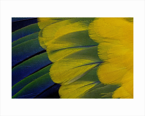 Fanned out wing feathers in blue, green and yellow of Sun Conure by Corbis