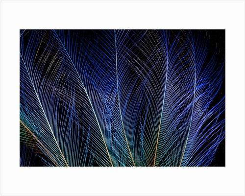 Display feathers of Blue Bird of Paradise by Corbis