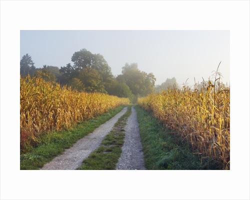 Rural road through maize field by Corbis