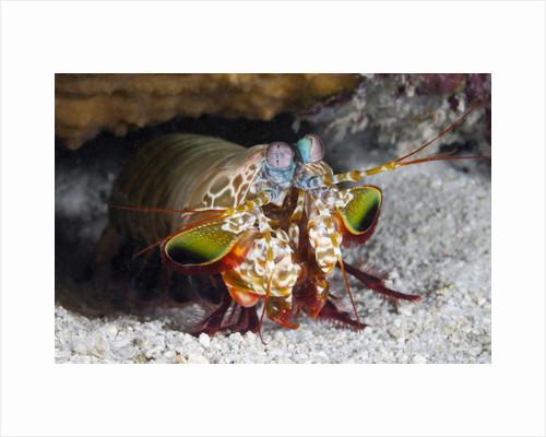 Smasher Mantis Shrimp by Corbis