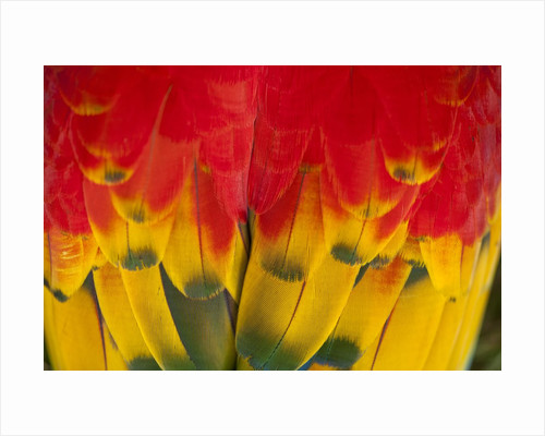 Scarlet Macaw, Costa Rica by Corbis